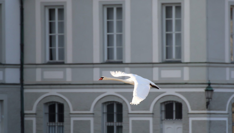 swan-flight